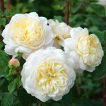 Hình ảnh hoa hồng leo CrocusRose