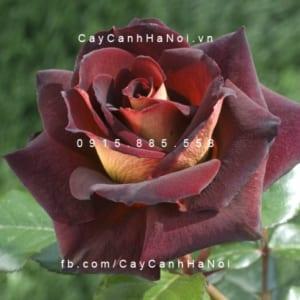 Hình ảnh hoa hồng leo Dark Night