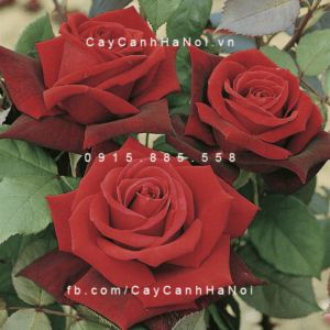 Hình ảnh hoa hồng leo Deep Secret