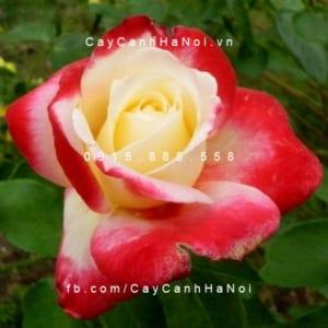 Hình ảnh hoa hồng leo Double Delight