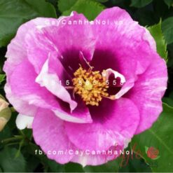 Hình ảnh hoa hồng leo Eyes for You