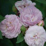 Hình ảnh hoa hồng leo Florence Delattre