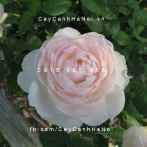 Hình ảnh hoa hồng leo Gentle Hemione