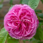 Hình ảnh hoa hồng leo Gertrude Jekull