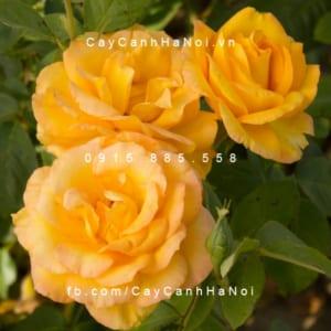 Hình ảnh hoa hồng leo Gold Medal