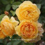 Hình ảnh hoa hồng leo Graham Thomas