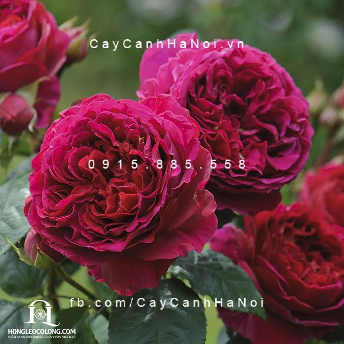 Hoa hồng leo Heathcliff