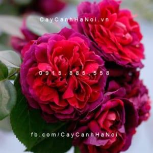 Hình ảnh hoa hồng leo High Grove