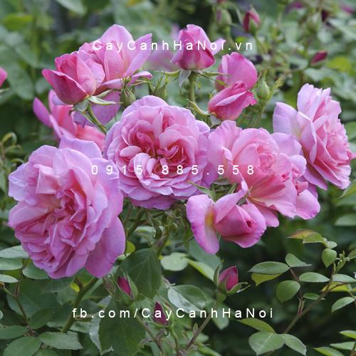 Hình ảnh hoa hồng leo Hyde Hall