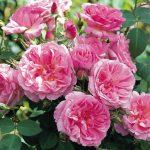 Hình ảnh hoa hồng leo Hyde HallHình ảnh hoa hồng leo Hyde Hall
