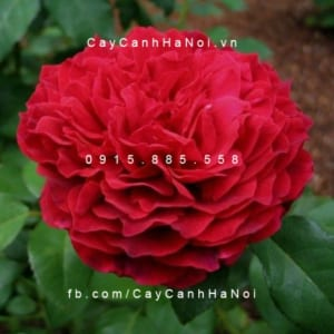 Hình ảnh hoa hồng leo Janice Kellogg