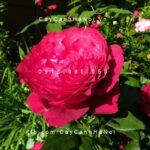 Hình ảnh hoa hồng leo Janice KelloggHình ảnh hoa hồng leo Janice Kellogg