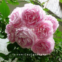 Hình ảnh hoa hồng leo Jasmina