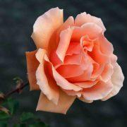 Hình ảnh hoa hồng leo Just Joey