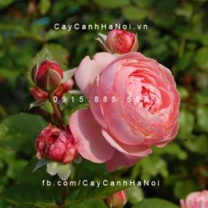 Hình ảnh hoa hồng leo Kölner Flora