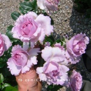 Hình ảnh hoa hồng leo La Rose De Peitt