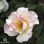 Hình ảnh hoa hồng leo Lady Of the Dawn