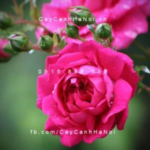 Hình ảnh hoa hồng leo Laguna