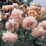 Hình ảnh hoa hồng leo Leander