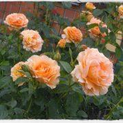 Hình ảnh hoa hồng leo Lord Byron