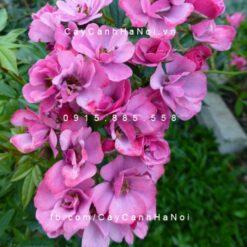 Hình ảnh hoa hồng leo Mac Spice