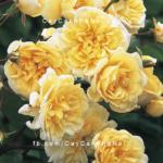 Hình ảnh hoa hồng leo Malvern Hills