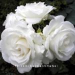 Hình ảnh hoa hồng leo Maria Shriver