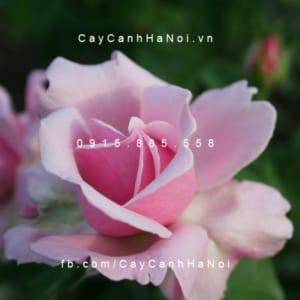 Hình ảnh hoa hồng leo Memorial Day