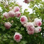 Hình ảnh hoa hồng leo Mimi Eden