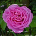 Hình ảnh hoa hồng leo Mrs.John laing