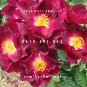 Hình ảnh hoa hồng leo Night Owl