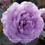 Hình ảnh hoa hồng leo Novalis