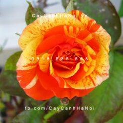 Hình ảnh hoa hồng leo Orange and Lemon