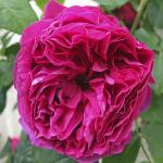 Hình ảnh hoa hồng leo Othello