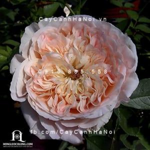 Hình ảnh hoa hồng leo Papi Delbard