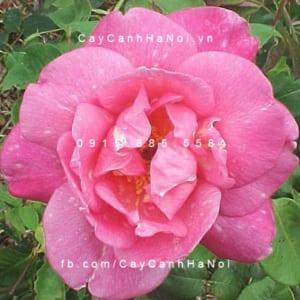 Hình ảnh hoa hồng leo Papilion