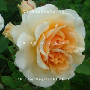 Hình ảnh hoa hồng leo Pegasus