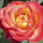 Hình ảnh hoa hồng leo Perfect Moment