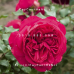 Hình ảnh hoa hồng leo Red Eden