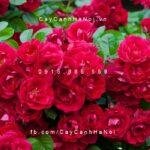 Hình ảnh hoa hồng leo Red Fairy