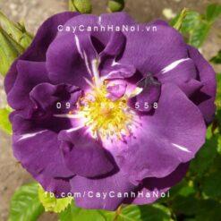 Hình ảnh hoa hồng leo Rhapsody in Blue
