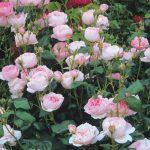 "Hình ảnh hoa hồng leo Scepter""d Isle"