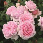Hình ảnh hoa hồng leo Schonne Maid