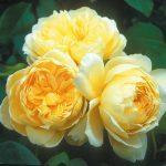 Hình ảnh hoa hồng leo St. Alban