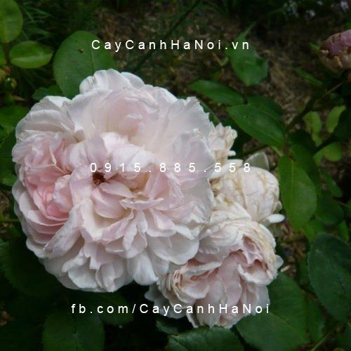 Hình ảnh hoa hồng St. Cecilia