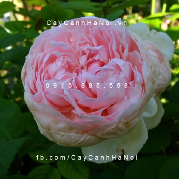 hoa-hong-leo-st-cecilia(5)
