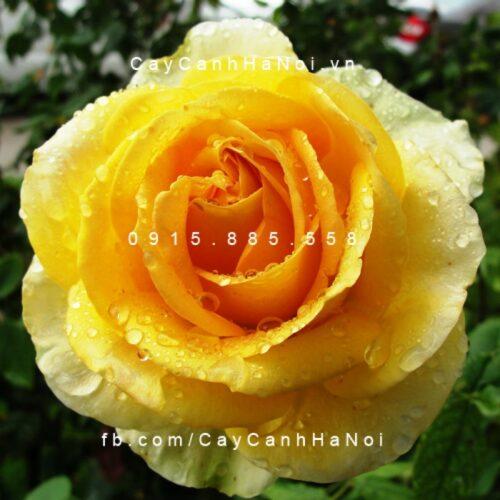 Hình ảnh hoa hồng leo St. Patrick