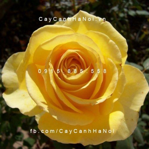 Hình ảnh hoa hồng leo St. PatrickHình ảnh hoa hồng leo St. Patrick
