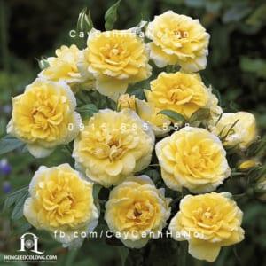 Hình ảnh hoa hồng leo Summertime
