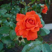 Hình ảnh hoa hồng leo Super Star